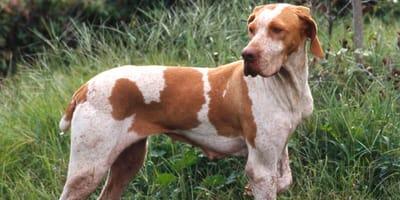 Ariège Vorstehhund