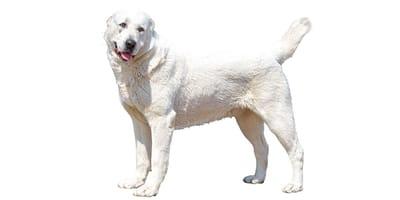 Cane da pastore dell'Asia Centrale