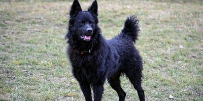 Perro pastor croata