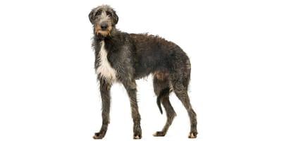 Deerhound
