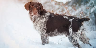 German Wirehaired Pointing Dog