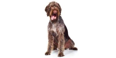 Perro de muestra alemán de pelo cerdoso