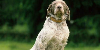 Wirehaired Slovakian Pointer