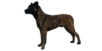 Saint Miguel Cattle Dog