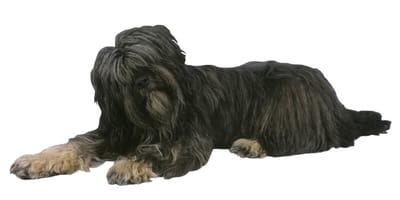 Perro pastor portugués