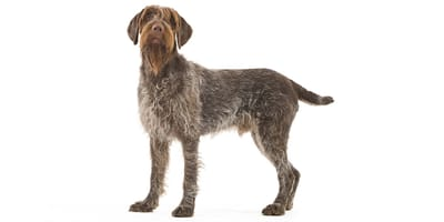 Wire-haired Pointing Griffon Korthals