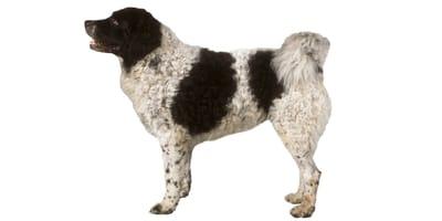 Fryzyjski pies dowodny