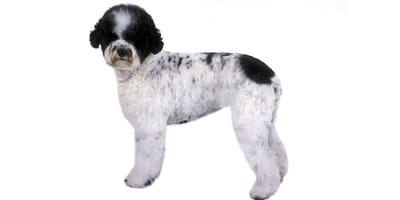 Cão de Agua Português (Cane d'acqua portoghese)