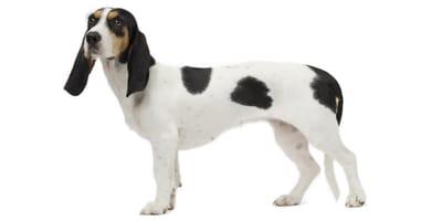 Schweizer Niederlaufhund