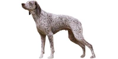 Bourbonnais Pointing Dog