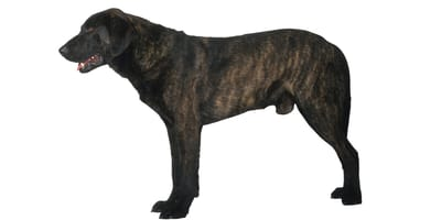 Castro Laboreiro Dog