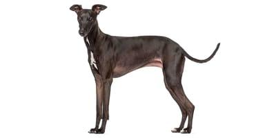 Italian Sighthound