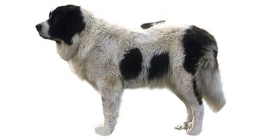 Mastif pirenejski