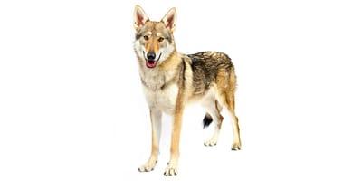 Perro lobo de Saarloos