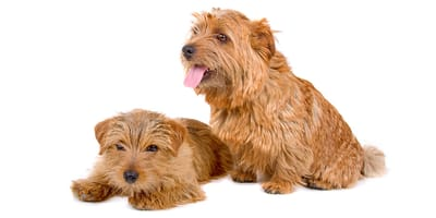 Terrier de Norfolk  y Terrier de Norwich