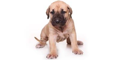 Dogo canario (Presa canario)