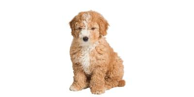 Hiszpański pies dowodny
