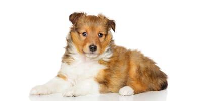 Shetland Sheepdog (Pastore dello Shetland)