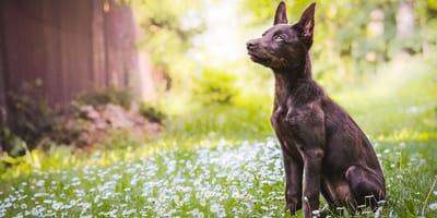 Cane da pastore australiano (Kelpie)