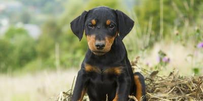 Terrier alemán