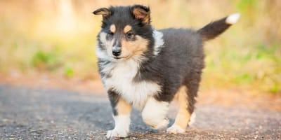 Cane da pastore scozzese a pelo lungo
