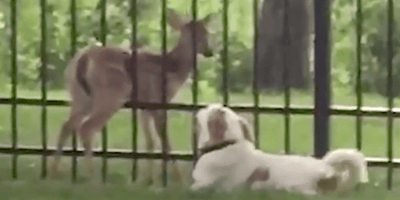 Watch: Dog waits patiently beside trapped fawn until help arrives