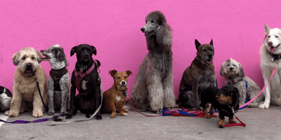 A bunch of dog breed with collars and attached to a leash