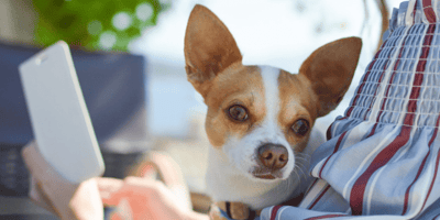 chihuahua dog on the lap of its owner