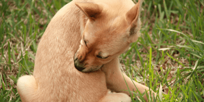 What are the different symptoms of dog fleas?