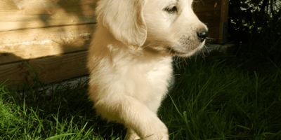 Golden labrador with front paws