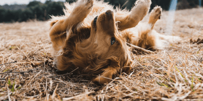 Golden dog rolling in the grass