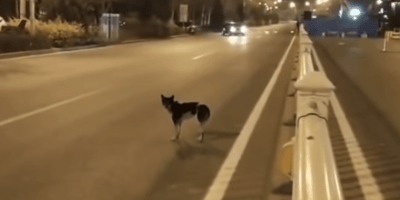 Mourning dog waited 80 days by the side of the road for deceased owner to come back