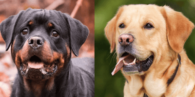 Rottweiler dog and Labrador dog