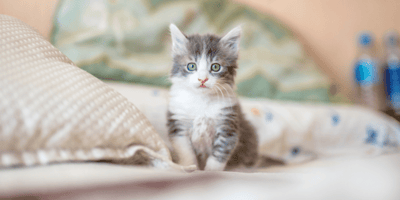 White and grey kitten on a bed