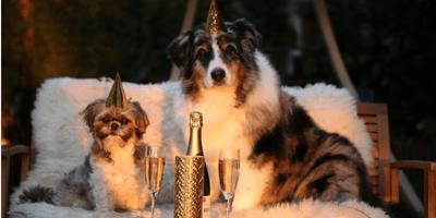 Australian shepherd and shi tzu celebrating birthday