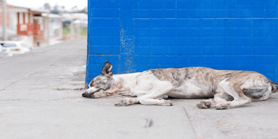Old dog lying in the streets