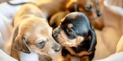 All about the dog gestation period: What to expect when your dog is pregnant