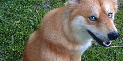 Hund sieht wie Fuchs aus: Der Pomeraner-Husky-Mischling