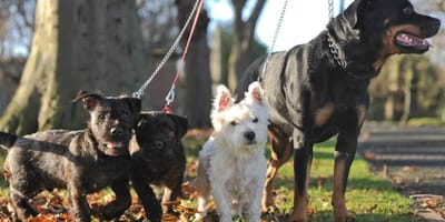 Was passiert, wenn man einen Rottweiler mit einem West Highland Terrier kreuzt?