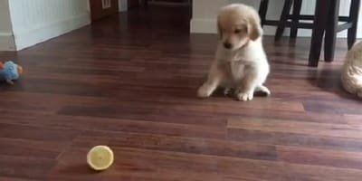 Golden Retriever Welpe sitzt vor Zitronenhälfte