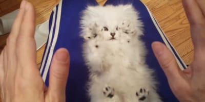 Watch: Adorable little Persian kitten just loves getting her belly tickled