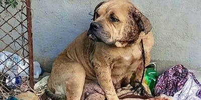 Sophie, la bulldog che ha cambiato vita dopo un incubo infinito