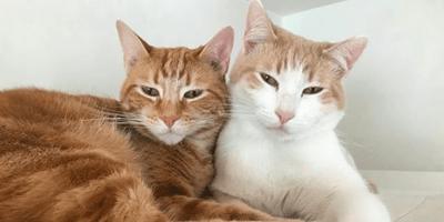 Gatto rosso e bianco l'uno accanto all'altro