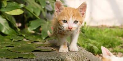 Gattino rosso che cammina su muretto