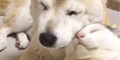 Cane e gatto bianchi che si fanno le coccole