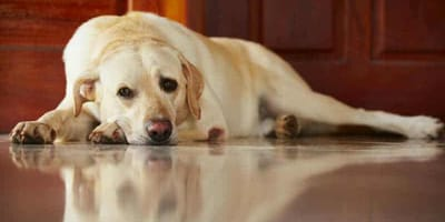 Si può lasciare il cane da solo tutto il giorno? Ecco la verità