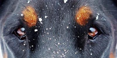 8 cause che scatenano la  forfora nel cane