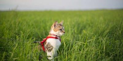 Come abituare il gatto al guinzaglio: passaggi fondamentali