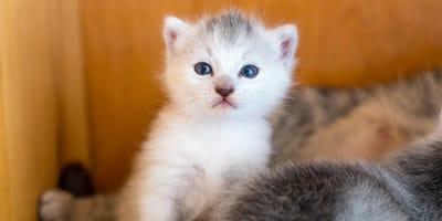 gattino bianco con occhi azzurri