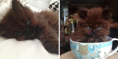 Adotta il gatto più piccolo della cucciolata: oggi la sua taglia è ben diversa!